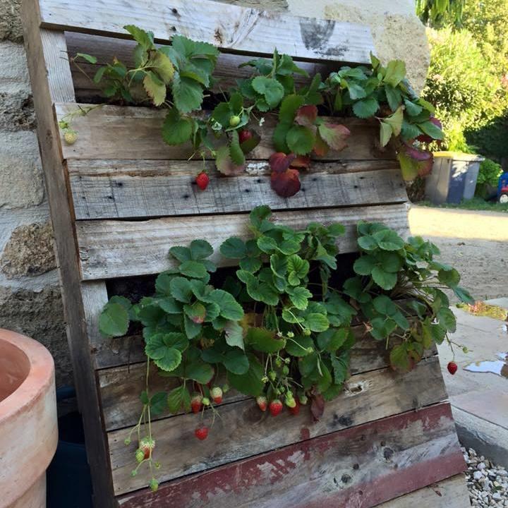 pallet encostado na parede com varias plantas de morango