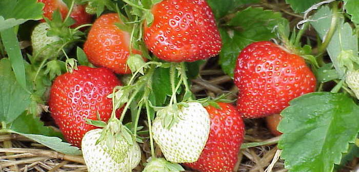 frutas de morango sobre palha