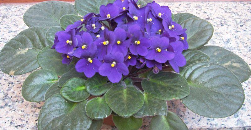 violeta em vaso