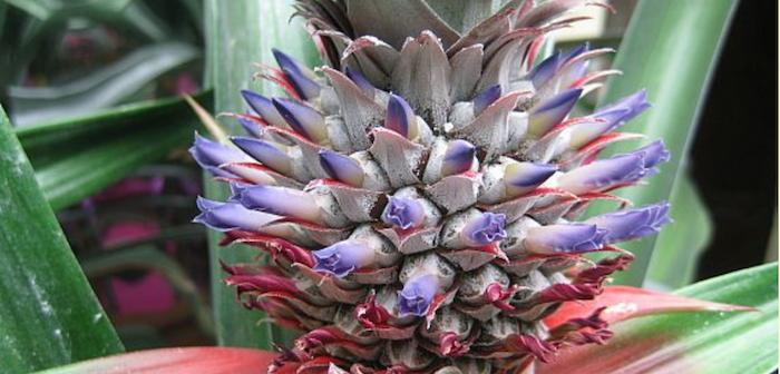 flores da planta de abacaxi