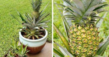 plantinhas de abacaxi no vaso