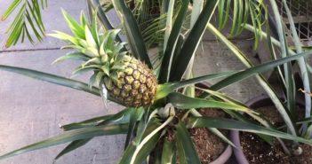 fruta de abacaxi plantada em vaso