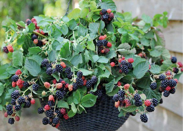 planta de amora plantada no vaso