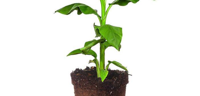 planta de banana em vaso
