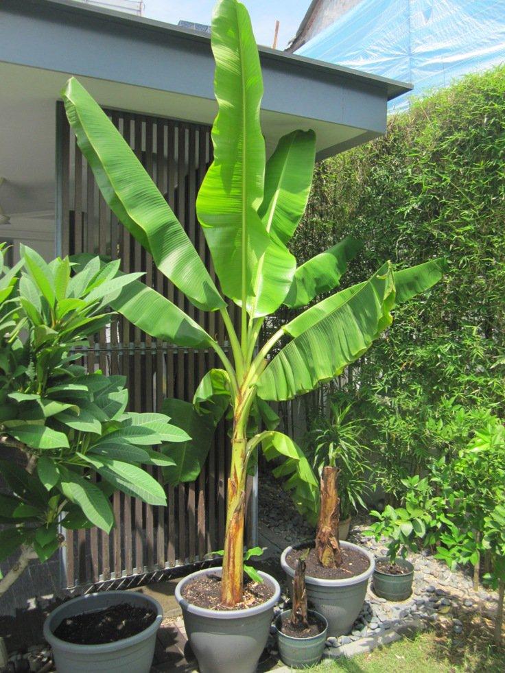 pé de banana grande plantado em vaso