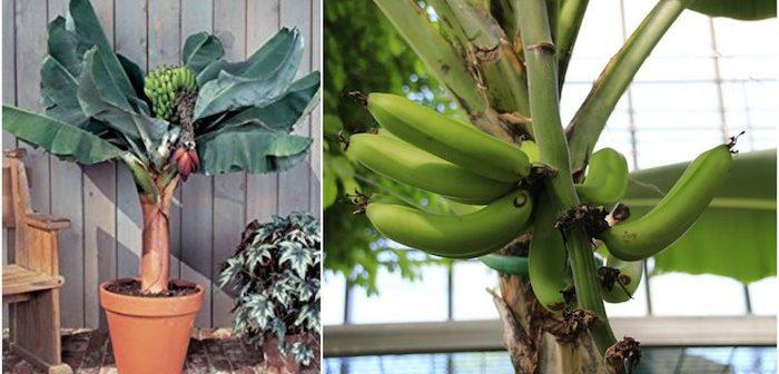 pé de banana anão plantado em vaso com frutas