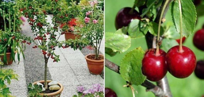 arvore de cereja plantada no vaso