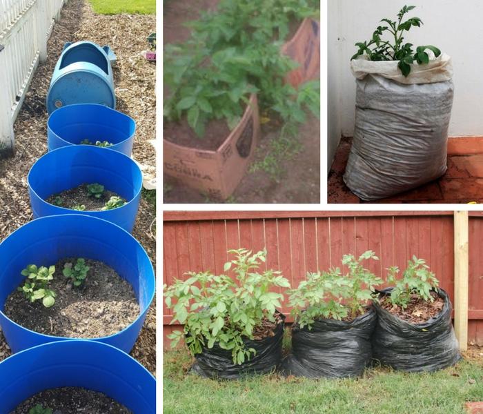 diferentes maneiras plantar batata