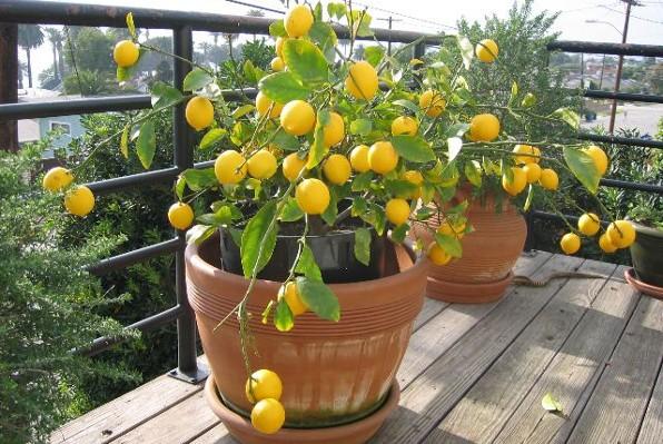 pé de limão carregado de fruta plantado no vaso