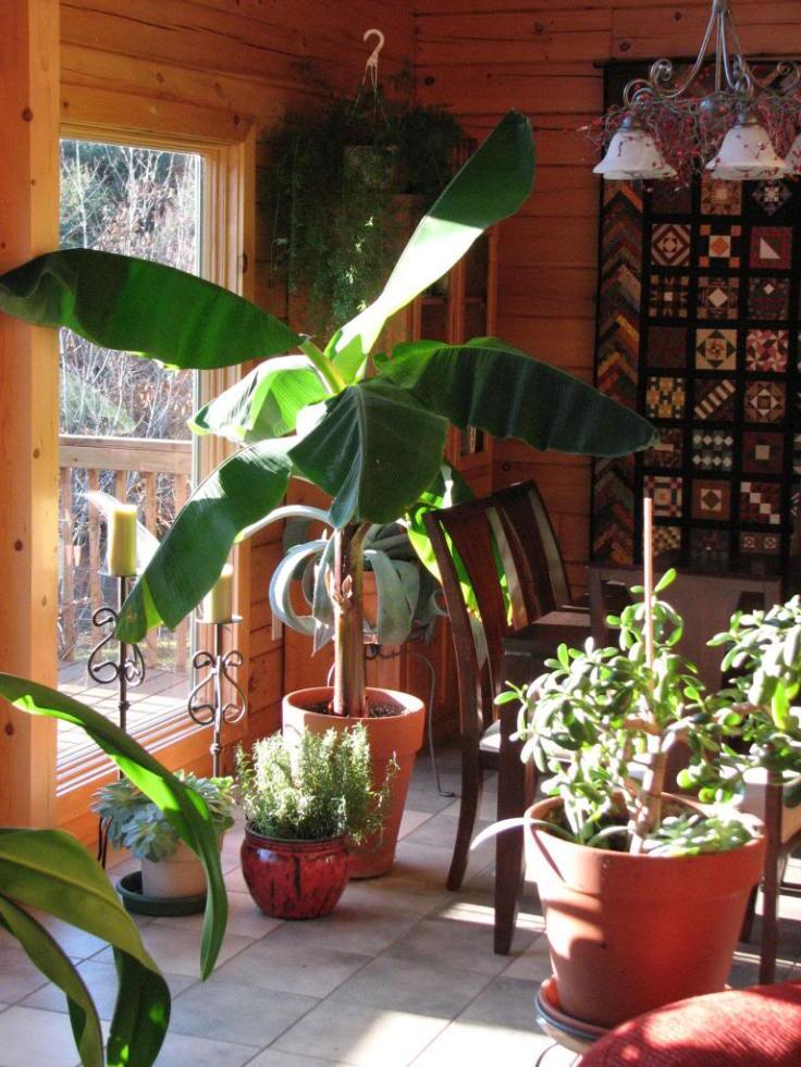 pe de banana dentro de casa em frente a uma janela