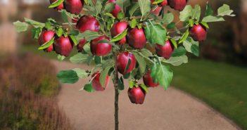 pé de maça carregada de frutas em vaso