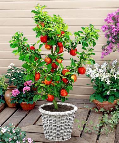 macieira plantada em vaso