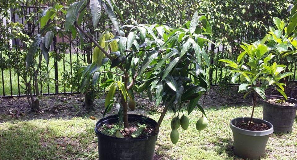 como plantar mangueira em vaso