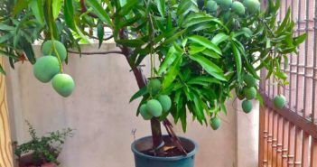 arvore de manga carregada de frutas plantada em vaso