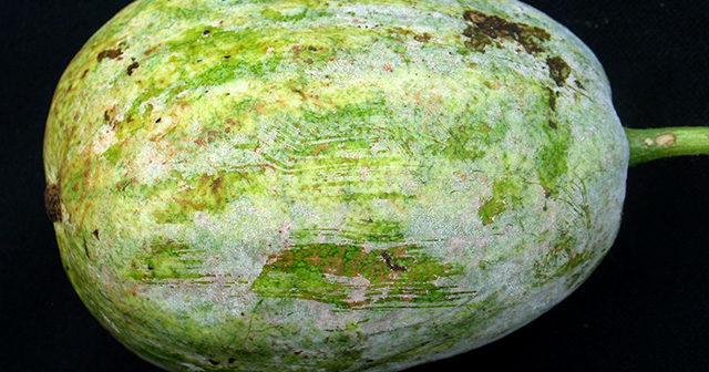fruta melancia com fungos oídio pela casca