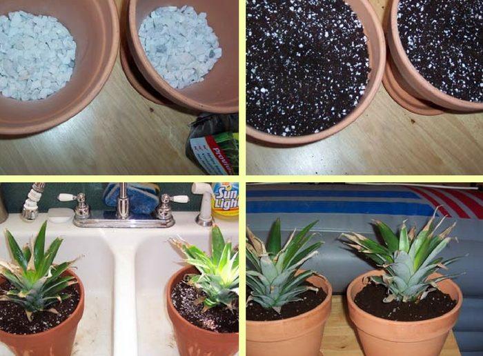 plantando abacaxi no vaso