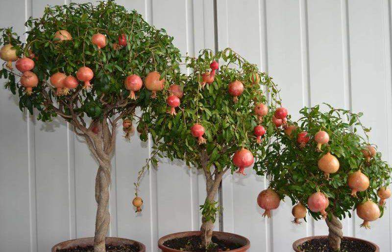 3 arvores de romã plantada em vaso