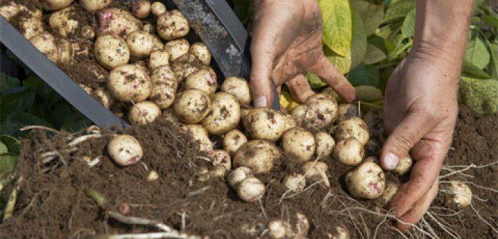 mãos de homem tirando varias batatas da terra
