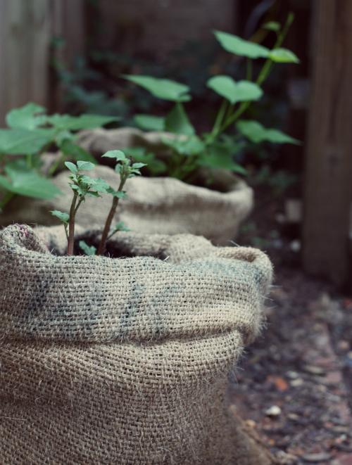 saco de linhagem com batata doce plantada