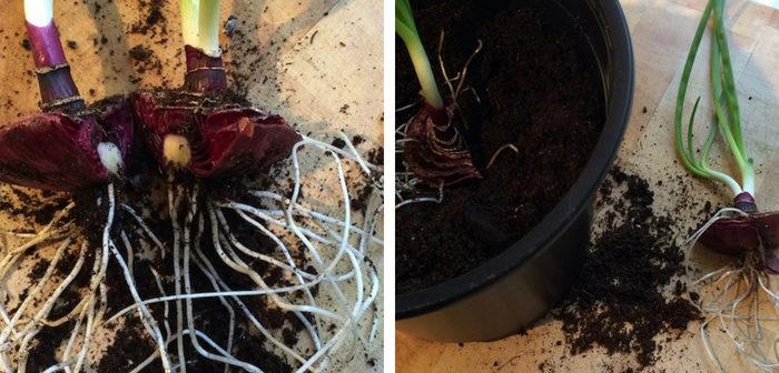 plantando broto de cebola