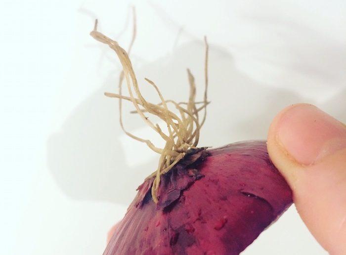 ponta da cebola com as raizes secas