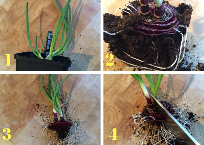 dividindo planta de cebola
