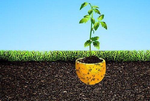 mudinha plantada na casca de limão transplantada na terra
