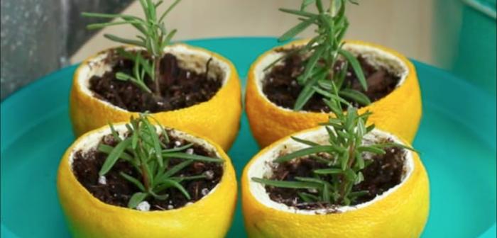 sementeira casca de limão