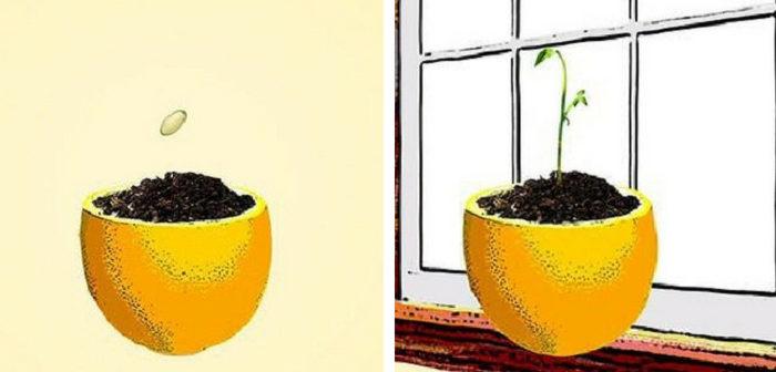 sementeira de casca de limão