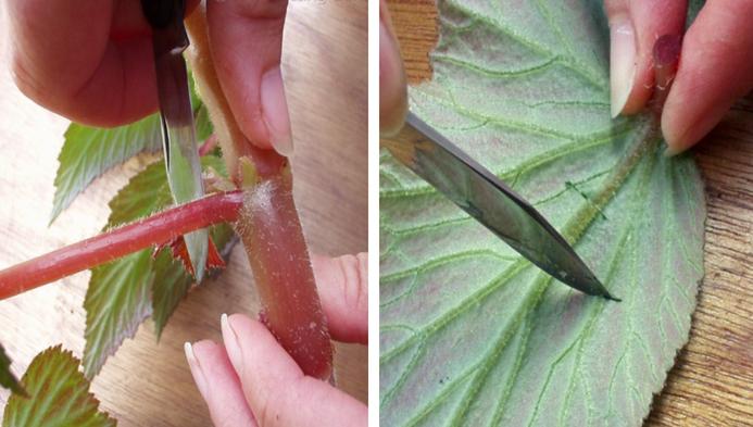 cortar folha de begônia e cortes na folha