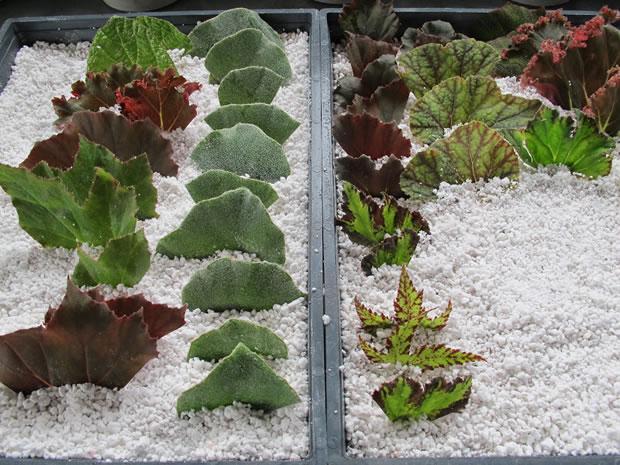 pedaços de folhas de begônias fincadas no substrato