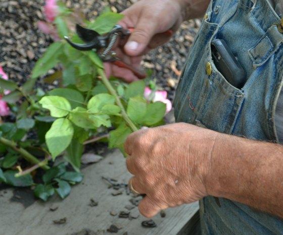 estaca de rosa com folhas e galhos