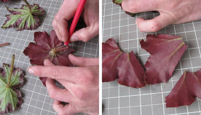 cortando folha de begônia