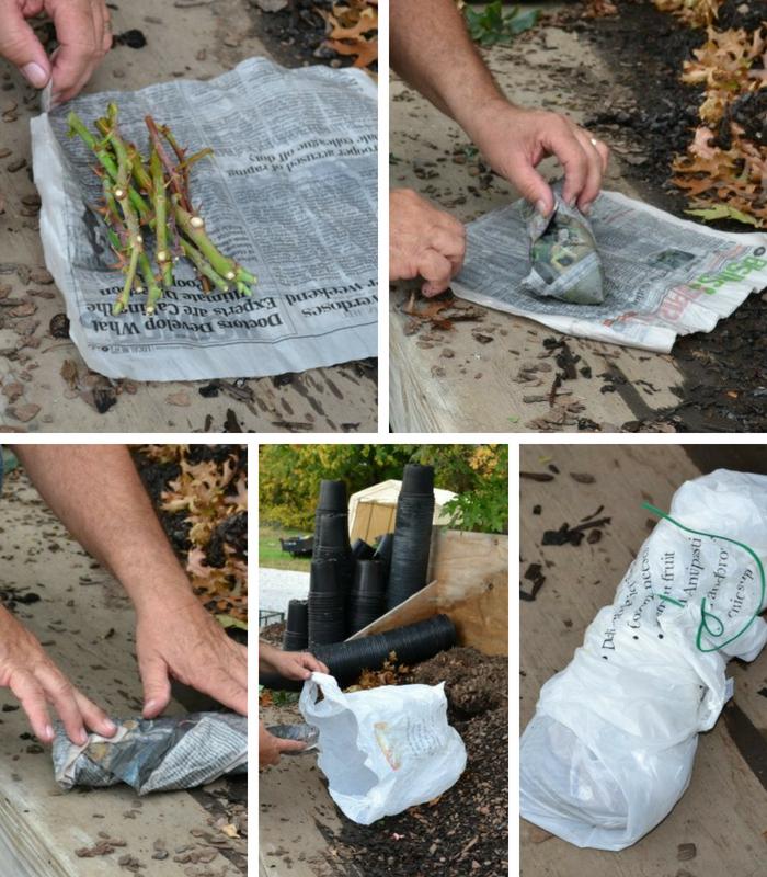 embrulhando estacas de rosas em jornal e plastico