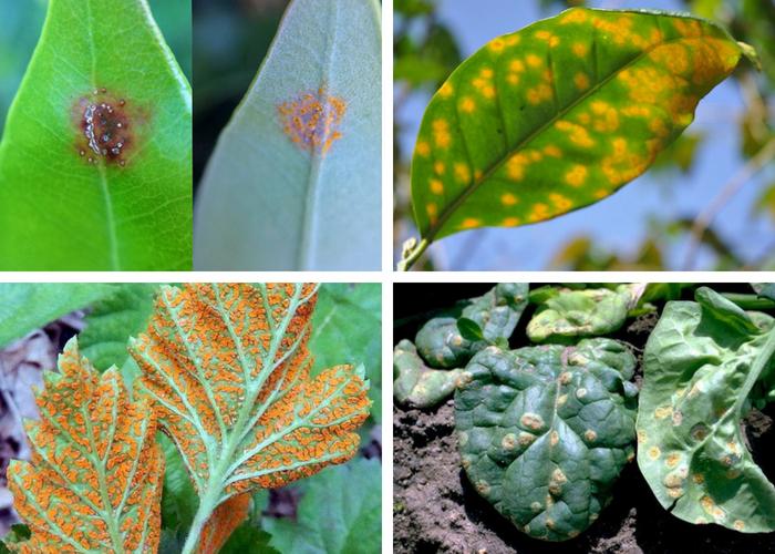 diferentes tipos de ferrugens nas plantas