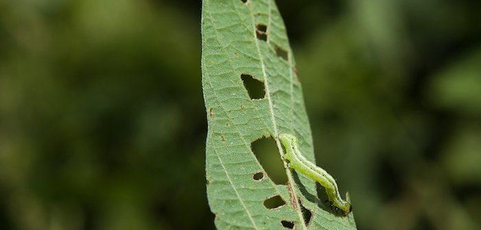 lagarta comendo folha