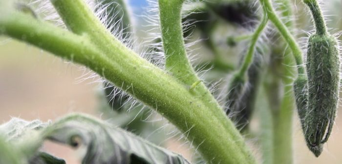 plantas com pelo na haste