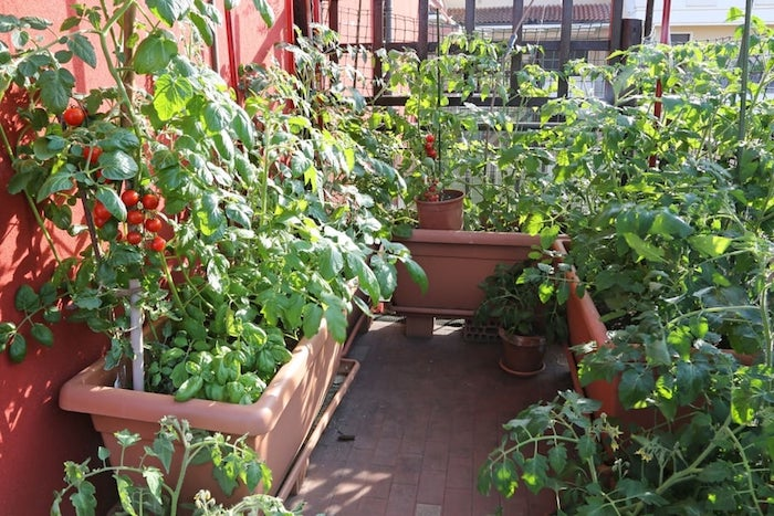 varios vasos com tomate Cherry