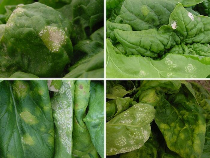 diversas doenças folha espinafre