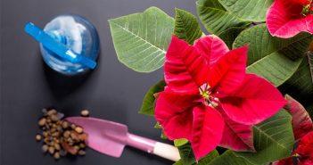 fertilizar flor de natal