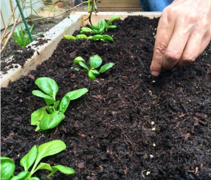 semeando espinafres