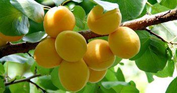 fertilizar arvore frutíferas