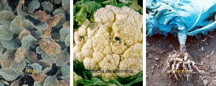 doenças fungica couve flor