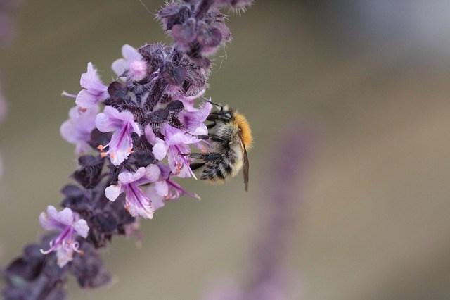 abelha na flor de manjericão