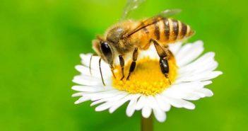 abelha na margarida