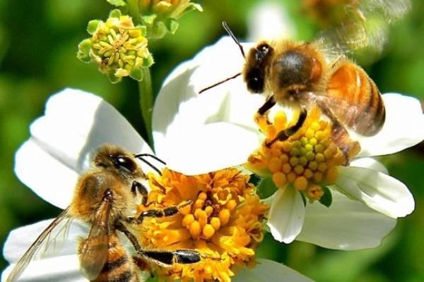 abelha na flor branca