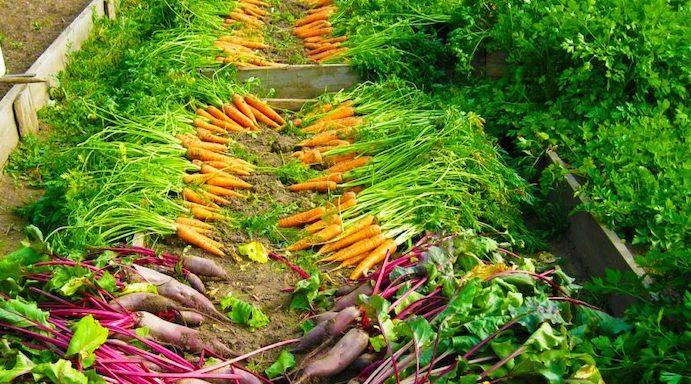 colheita de cenouras orgânicas