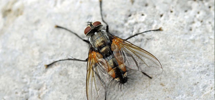 mosca tachamidae