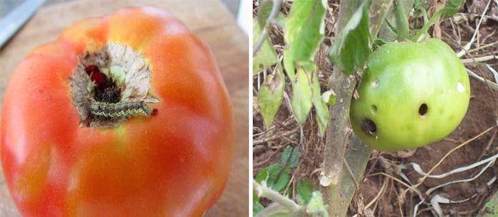 tomate atacado por praga