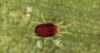 aranha vermelha